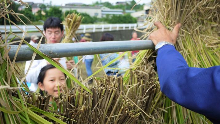 【稲刈り体験今週もやっています】稲刈り体験の残数が残りわずかです