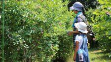 【体験レポート】ブルーベリー収穫体験&ジャムづくり
