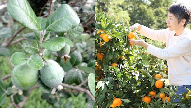 【畑ご契約者様限定】大井町の2大フルーツ!みかんとフェイジョア収穫体験