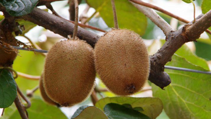 キウイフルーツのもぎとり収穫と追熟体験