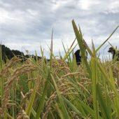 【体験レポート】 稲刈り体験で新米ゲット!