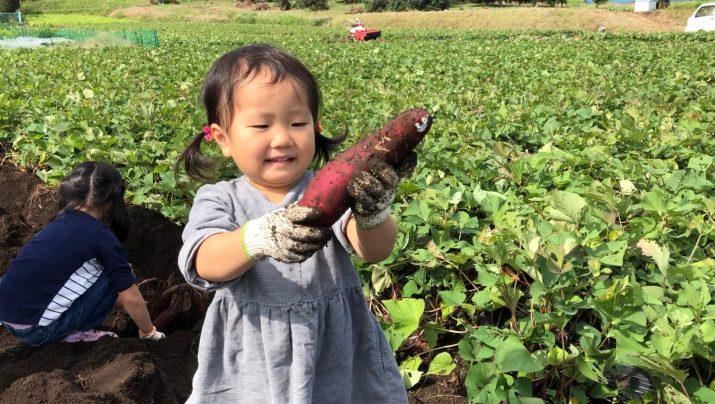 【体験レポート】 秋の収穫祭!さつまいも収穫と焼きいも&おさつチップス!