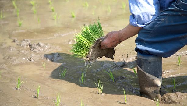 一本一本、丁寧に。昔ながらの手植えでお米づくり!