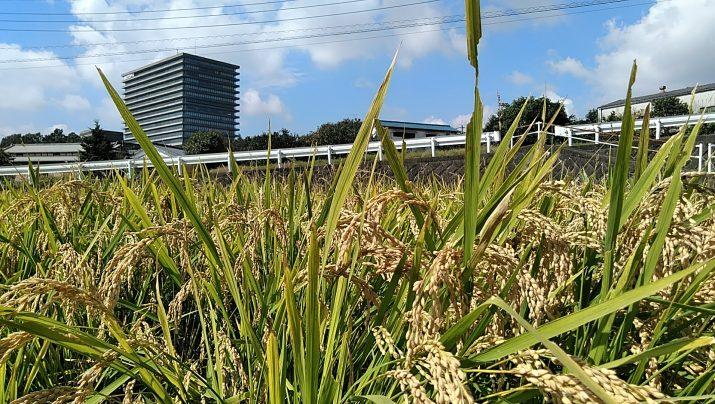 【体験レポート】稲刈りイベント